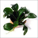 Echinodorus opacus «from Verde»
