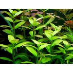 Ammania multiflora