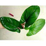 Anubias gilletii Х caladiifolia