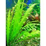 Aponogeton crispus green