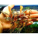 Bucephalandra sp.Sintang West Kalimantan(Cliffhanger)