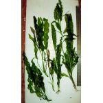 Aponogeton stachysporus, undulatus