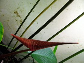 Anubias gigantea A.Chev. ex Hutch., 1939