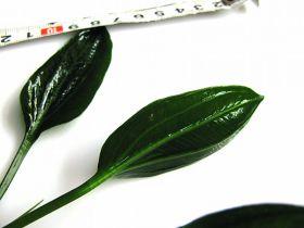 Echinodorus opacus «from Uruguay»
