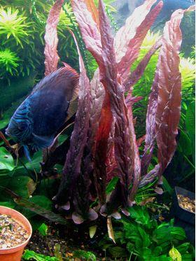 Barclaya periana